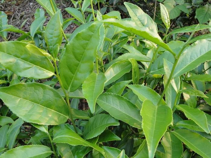 品质一般。 铁观音品种有紫芽观音、红芽观音、白心尾观音、长叶观音、厚叶观音、薄叶观音、圆叶观音、白样观音、黄观音、金观音等几种不同形态品系,其中以紫芽和红芽为正宗,品质最佳,其余为变异正宗铁观音或嫁接奇种铁观音品系。 现在安溪产茶乡镇均有栽种,主要分布在感德、剑斗、西坪、虎邱、祥华等。清光绪二十二年(1896年),安溪人张乃妙、张乃乾兄弟将其传至台湾木栅区。铁观音先后传到福建的永春、南安、华安、平和、福安、崇安、莆田、仙游等县以及广东等省。 (2)黄旦(又名黄校、黄金桂)  黄旦原产于安溪虎邱罗岩,无性系